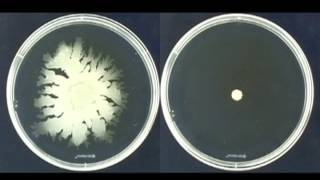 Colony spreading of Staphylococcus aureus