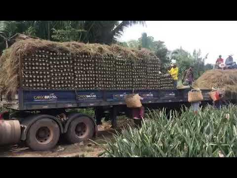 Tecnologia no cutivo do abacaxi em floresta do Araguaia pára produtores de abacaxi estão satisfeitos