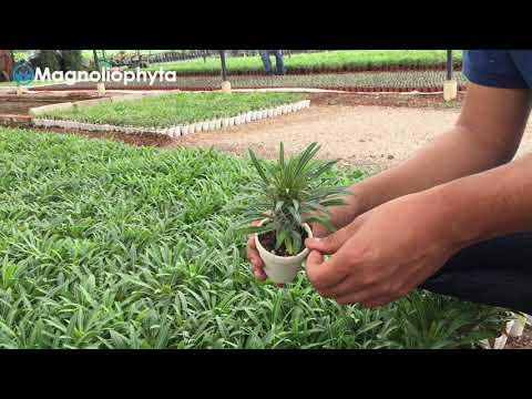 Proceso de crecimiento de Pachypodium Lamerei.