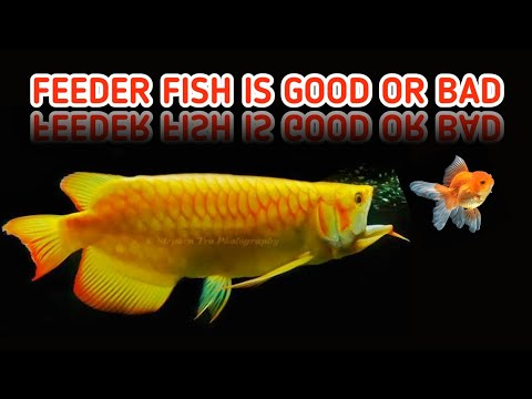 Feeder Fish Is Good Or Bad | Facts About Feeder Fish | Fish& Aquarium
