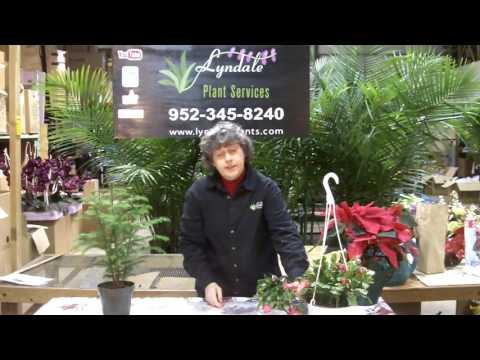 Norfolk Island Pine Care.  Makes a terrific Holiday plant choice