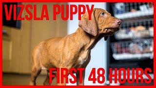 Hungarian Vizsla Puppy | First 48 Hours | Video 3
