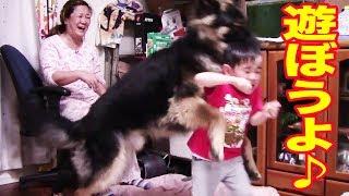 孫の響、幼い頃から犬達との激しい遊びは苦手です 姉のりりかと違い積極...