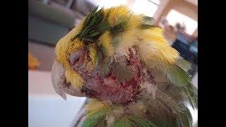 Muhabbet Kuşlarında Dişi Kuş Erkek Kuşu Neden Döver ?
