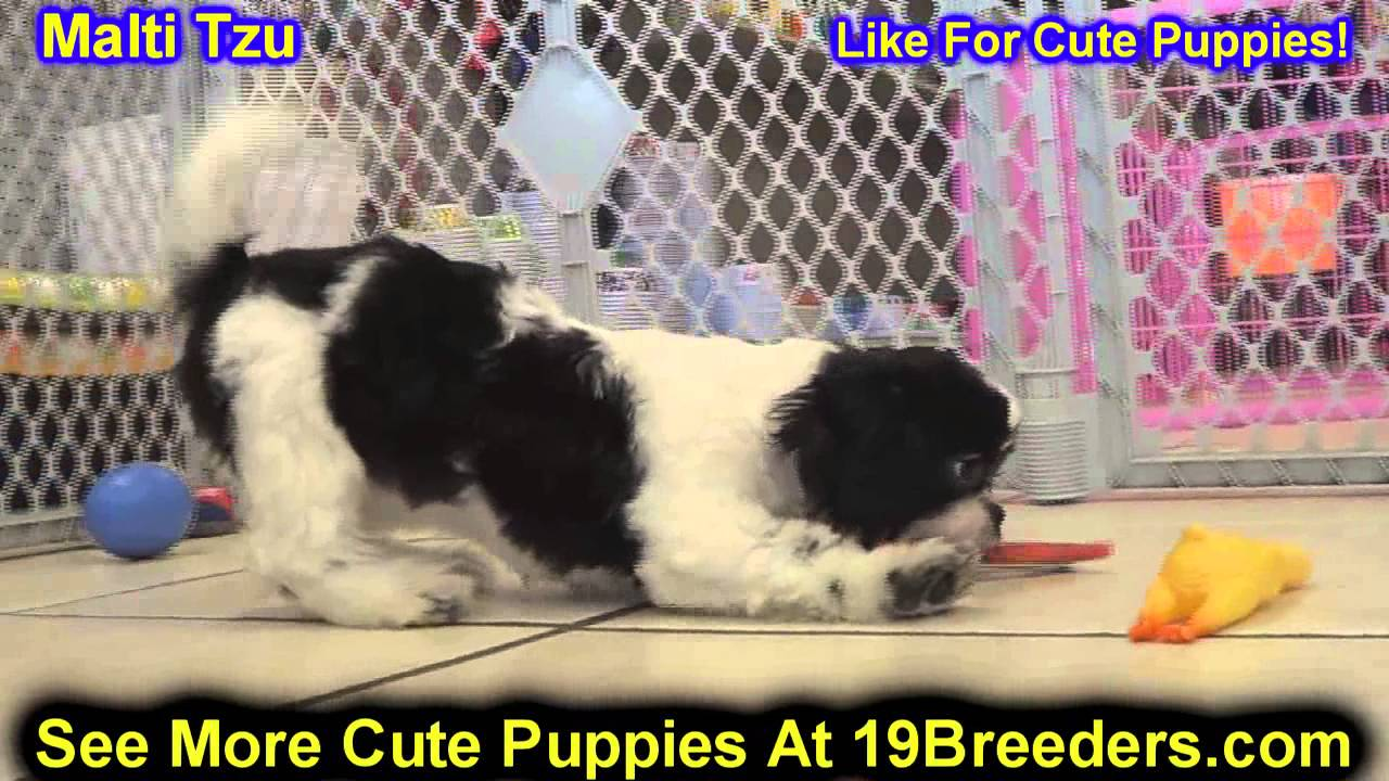 Malti Tzu Puppies For Sale In Wichita Kansas Ks Pittsburg