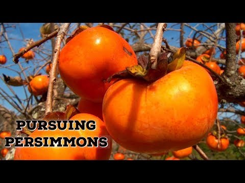 Pursuing Persimmons Growing in Oregan Near Portland