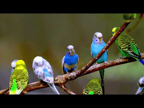 Budgie Sounds (10 Hours)