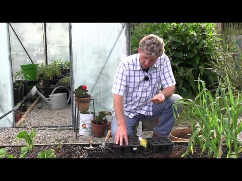 HOW TO GROW DWARF FRENCH BEANS