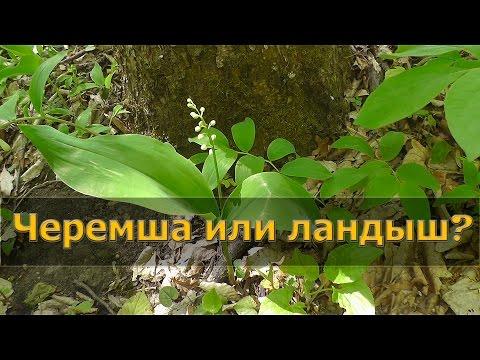 Ландыш майский - лечебные свойства, применение и