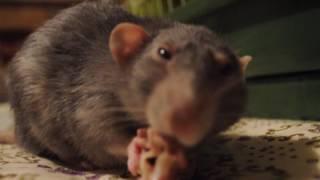 Фото милое видеовеселый крыс Казимир