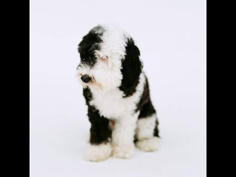 Mini Sheepadoodle Puppies