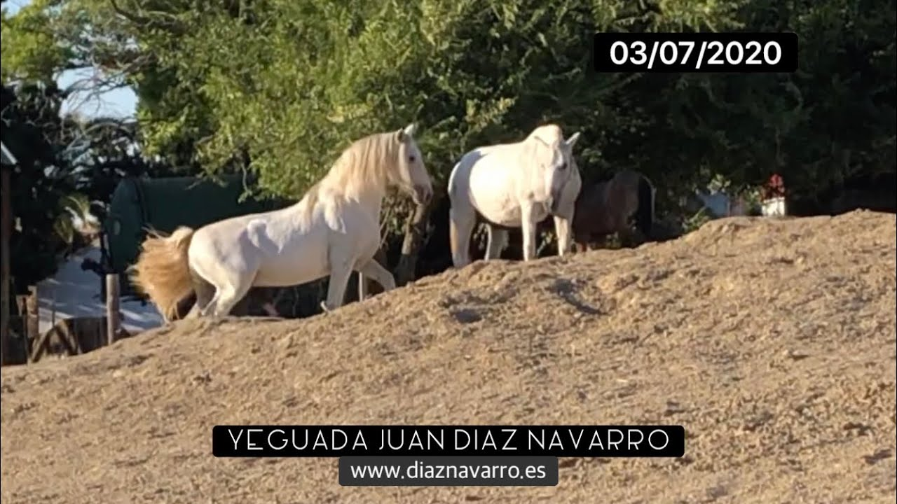 Cubrición de Ibera DN por el semental; el ciclo de las yeguas - Yeguada Juan Díaz  Navarro