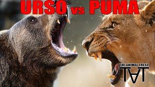 Urso VS Puma - The Animal Treta