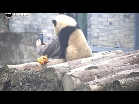Panda Cub Puts Arm Around Human Foster Dad For Adorable Selfie