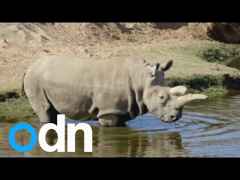 Only five white rhinos left worldwide, after one dies at San Diego Zoo