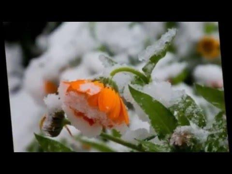 Еще снег не сошел а первые весенние цветы уже появились