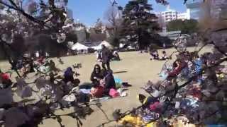 新宿御苑のお花見 芝生は外国人で大賑わい 2015.3.25 thumbnail