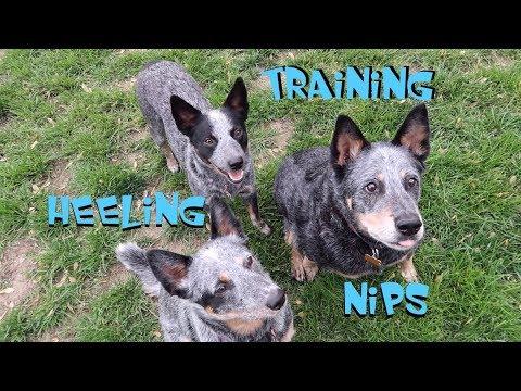 Australian Cattle Dogs - Training Tips - Heeling & Nipping