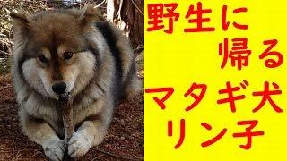 野生に帰る柴犬をごらんください。 春というのに散歩中に雪が降ってきま...