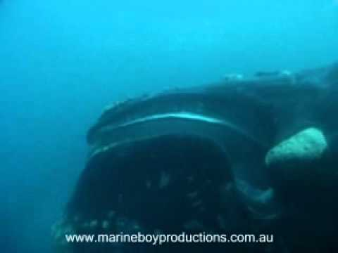 Southern Right Whale - Opening Mouth - YouTube