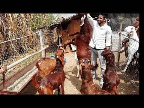 Sirohi Goat for SALE , Bhopal, Madhya Pradesh,India