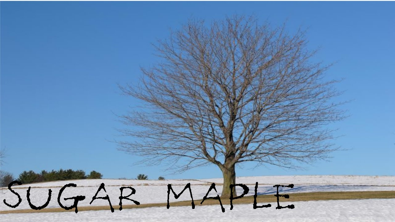 Identifying Sugar Maples Youtube
