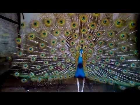 A Beautiful Pikok at Karnala Bird Sanctuary