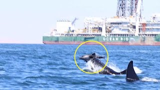 Dolphin Carcass Mystery Resolved As Killer Whale Attack