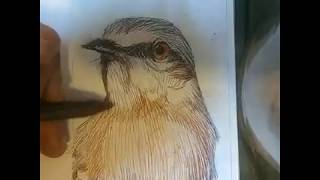 STATE BIRD OF ARKANSAS: NORTHERN MOCKINGBIRD🐦!!! TIME LAPSE DRAWING!!!