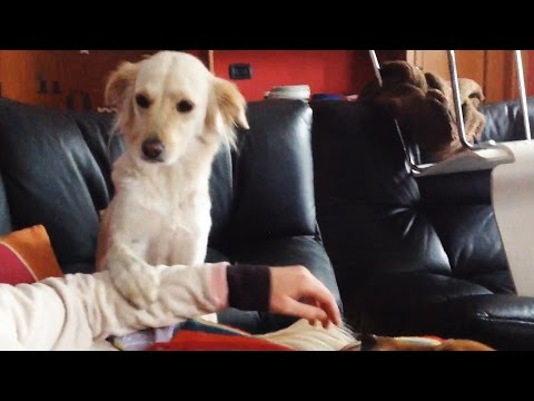 Thumbnail: JEALOUS DOGS Want Attention From Their Owners 2017 🐕🐩 [Funny Pets]