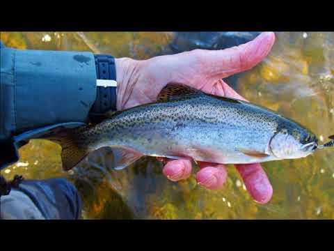 Mersey River browns & rainbows.
