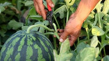 맛있는 수박 수확현장에서 배우는 좋은 수박 고르는 법