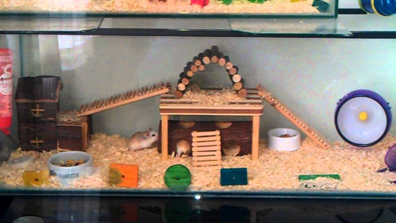 Campbell's dwarf hamster care