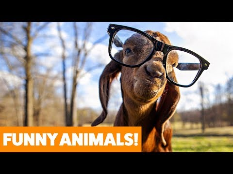 Cute Funny Goats | Funny Pet Video