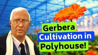 Gerbera cultivation in polyhouse in Bihar, Madhubani