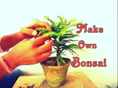 How to Grow  Araucaria as Bonsai - MammalBonsai