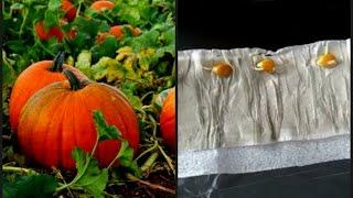 Проращиваем семена тыквы в улитке!(Замечательный метод Юлии Миняевой! Интересный способ выращивания рассады тыквы. Путем посадки семян в..., 2016-03-25T01:18:51.000Z)