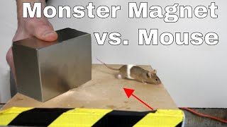 What Does A Giant Monster Neodymium Magnet Do To A Mouse