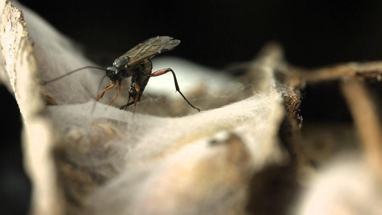 ichneumons paraziták