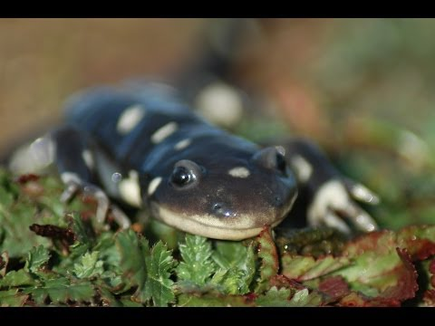 How To Care For A Pet Tiger Salamander How To Care For ...