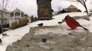 Pov Busy Bird Feeder With Cardinals And A Blue Jay Cameo