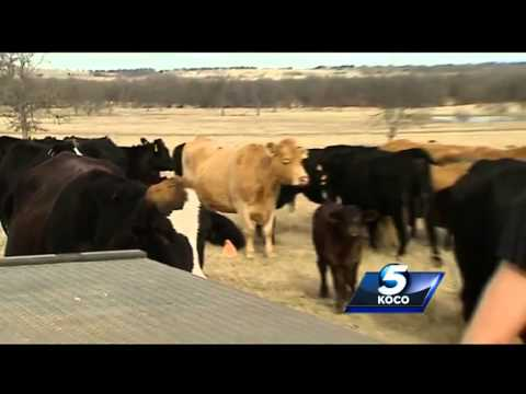 Cattle rustling ring busted in Oklahoma