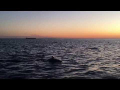 Dolphins in Santa Monica Bay