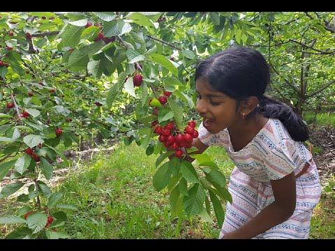 Cherry Picking - Orange NSW Australia