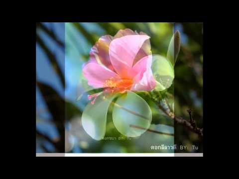 ดอกไม้บานในเมืองไทย