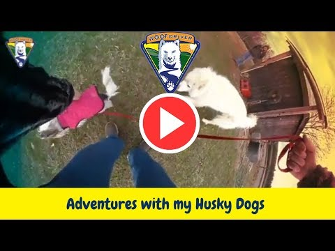 Adventures with my husky dogs - GiGi Checks Out The Mazing Chase Course