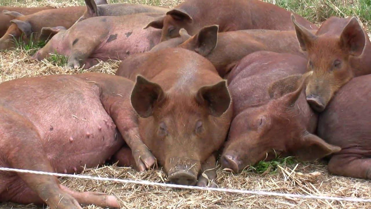 Piggies Free