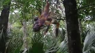 Spider Eats Frog!! Banana Spider aka Golden Silk Spider