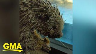 A porcupine goes on a 'field trip' around the aquarium | GMA Digital
