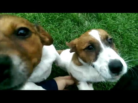 Happy Jack Russell ! Breeding Education and Training